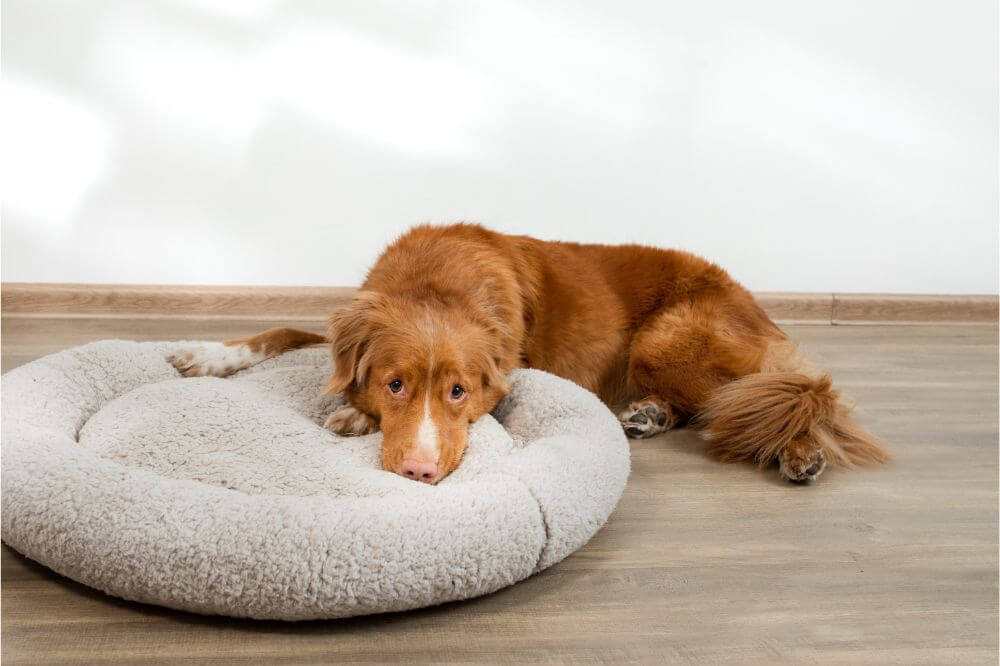 How to Get Dog to Use Dog Bed